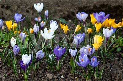 Colourful Crocuses Stock Photo