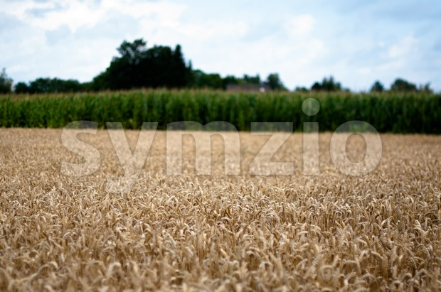 Corn and Maize Field Stock Photo