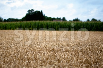 Corn and Maize Field Stock Photo