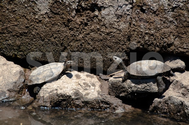 European Pond Terrapin Turtles Stock Photo