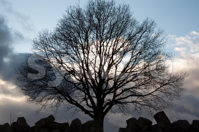 Silhouette of tree on winter sunset sky Stock Photo