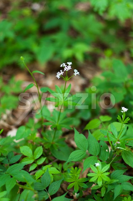 Woodruff white flowers Stock Photo