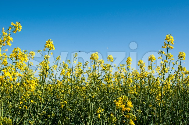 Canola field closeup Stock Photo