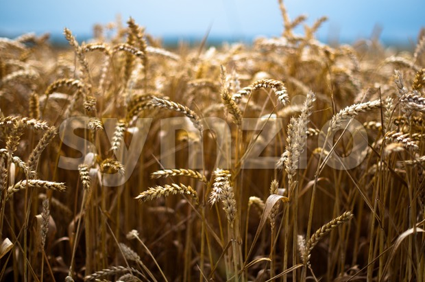 Gold Corn Field Stock Photo