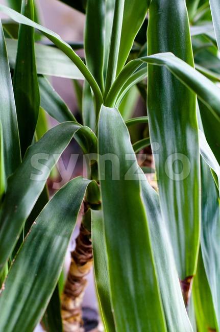 Yucca, house plant Stock Photo