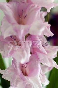 Beautiful pink gladiolus Stock Photo