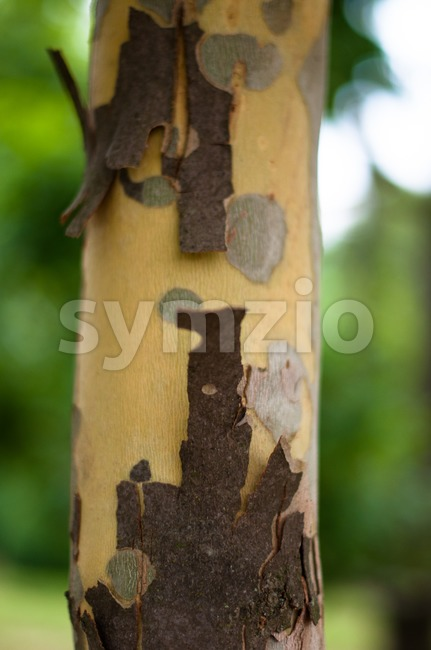 Bark Of The Platan Tree. Texture Stock Photo