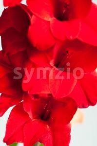 Beautiful red gladiolus Stock Photo