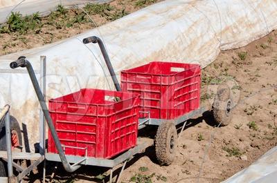 Asparagus field Stock Photo