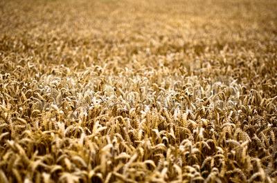 Gold Corn Field Stock Photo