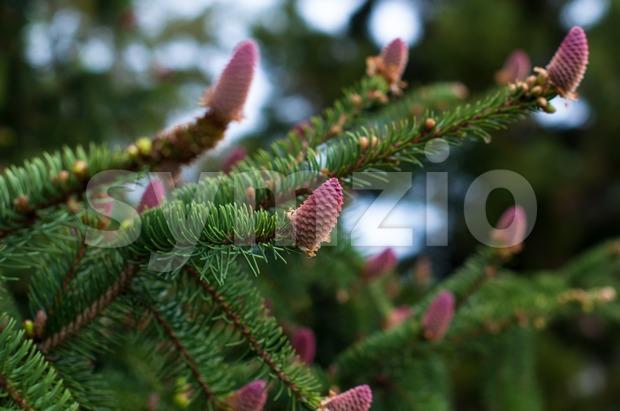 flowering fir branch Stock Photo