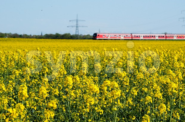 Canola field in a bright sunny spring day with a red train passing in the background