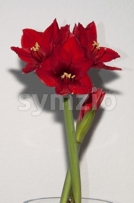 Red amaryllis Stock Photo