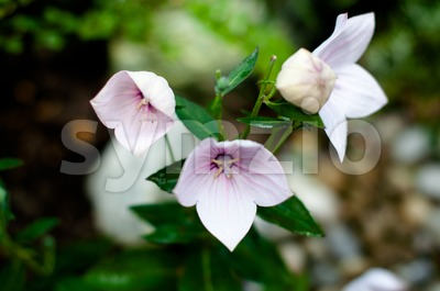 Pink Chinese Bellflower Stock Photo