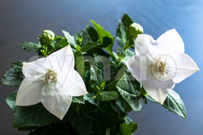 White Chinese Bellflower Stock Photo
