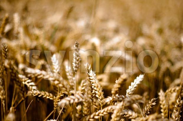 Gold corn field in bright sun light