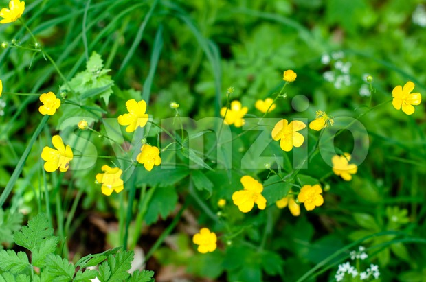 Buttercups Stock Photo
