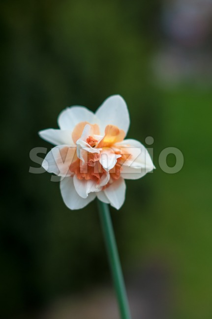 Close Up Of Daffodil Stock Photo