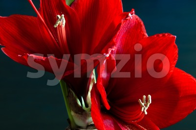 Red amaryllis Stock Photo