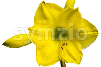 Yellow Amaryllis Flower Stock Photo