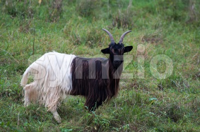 Valais Blackneck Goat Stock Photo