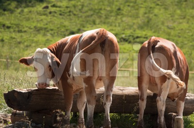 Cows At Trough Stock Photo