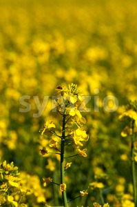 Rapeseed field closeup Stock Photo