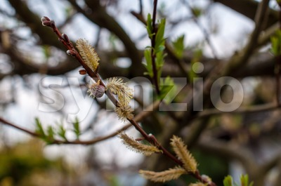 Flowering pussy willow bud Stock Photo