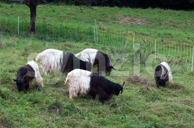 Valais Blackneck Goats Stock Photo