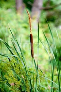 Cattails and Reeds Stock Photo
