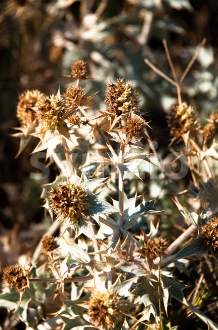 Dried Thistle Stock Photo