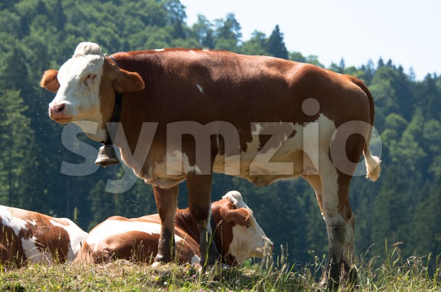 Cows grazing with flies Stock Photo