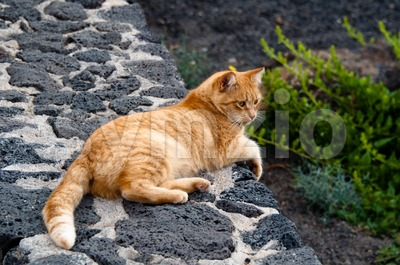 Golden Cat Stock Photo