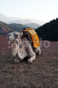 Resting Camel Stock Photo