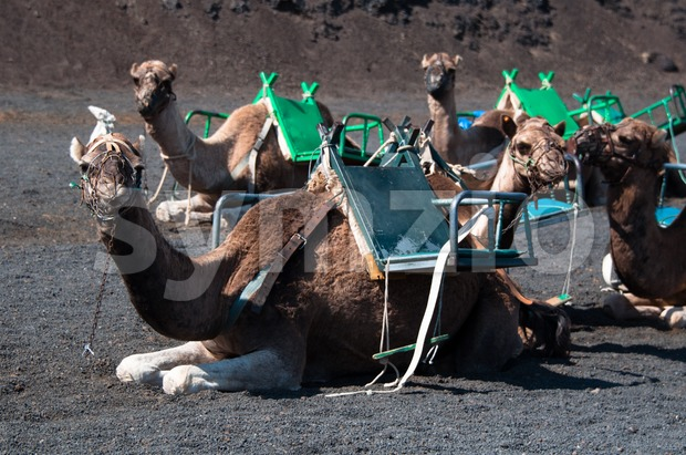 Camels sitting in the Timanfaya National Park in Lanzarote - Canary Islands, Spain