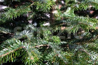 Caucasian Fir Branches Stock Photo