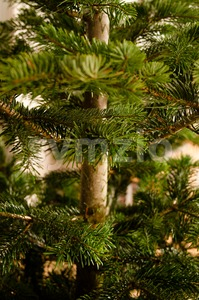 Caucasian Fir Branches Stock Photo