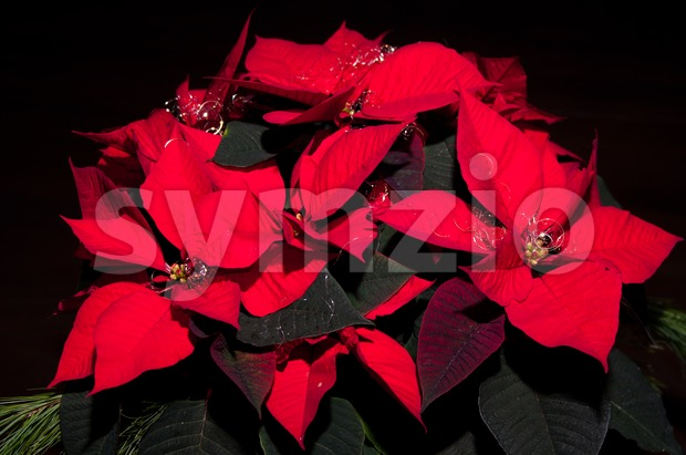 Festive Poinsettia Stock Photo
