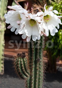 Saguaro Cactus Bloom Stock Photo