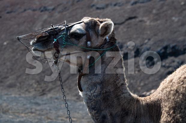 Dromedary on Lanzarote Stock Photo