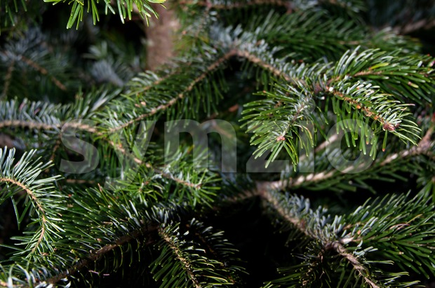 Caucasian fir branches - closeup on fresh green spruces