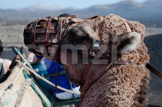 Dromedary Excursion on Lanzarote Stock Photo