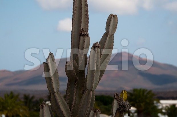 Cactus on Lanzarote, Canary Islands, Spain Stock Photo