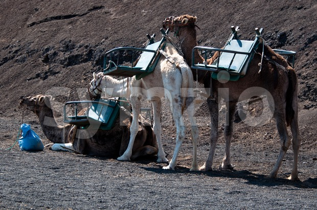 Camels waiting in the Timanfaya National Park in Lanzarote - Canary Islands, Spain