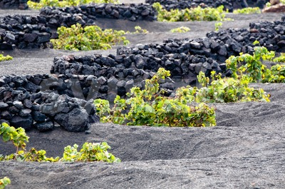 Lanzarote Vineyards Stock Photo