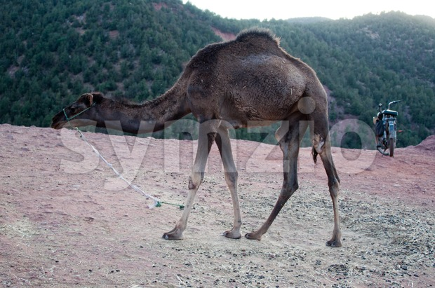 Marrakech - Morocco : Resting Camel Waiting For Tourists In The Atlas Mountains