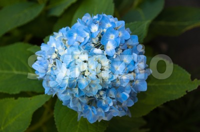 Beautiful blue Hortensia Stock Photo
