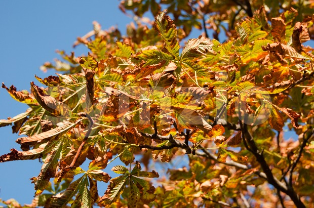 Autumn chestnut leaves against a blue fall sky