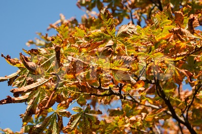 Colorful Chestnut Tree in Autumn light Stock Photo