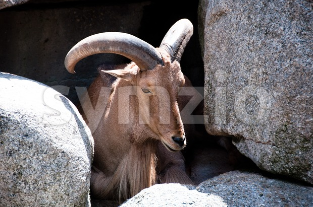 Gorgeous mountain goat resting in the sun between rocks